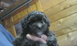 I have a new litter of TOY POODLE puppies that are ready for their new homes. They have had their first set of shots, regular wormingCKC Registration. The puppies are 8 weeks old, happy and healthy, and