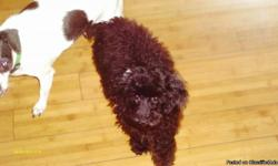 ckc poodle puppies two males has had first shots and been wormed been raised indoors 843 283 4859