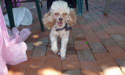 male toy poodle proven stud,