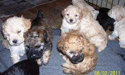 CKC TOY POODLE PUPPIES. 8 WEEKS OLD/FEMALES. TAILS DOCKED. DEW CLAWS REMOVED. SHOTS AND DEWORMED. PARENTS ON SITE. NOT A BREEDER. JULIE 704-402-6413.