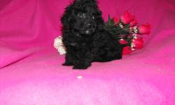 I raise akc registered toy poodles. they are born and raised in my home with my two young children. They are started crate and paper training. They come prespoiled. I worm my puppies every 10 days and vaccinate according to age.