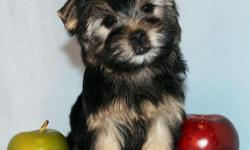 Una is absolutely darling female toy size Yorkie puppy. She was born in 08/13/2012. She got vaccinated and dewormed up to date. She is registered with CKC. She is going to grow up to 5 lbs when she gets full grown size. She has adorable baby face, compact