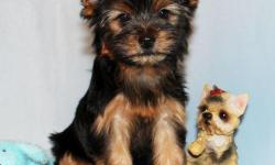 Valerie is absolutely darling female toy size Yorkie puppy. She was born in 08/13/2012. She got vaccinated and dewormed up to date. She is registered with CKC. She is going to grow up to 5 lbs when she gets full grown size. She has adorable baby face,