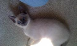 Purebred Traditional Siamese Kittens Sapphire blue eyes,sweet babies, vet exam and 1st shots 10 weeks old Please email for photos kgul202848@aol.com or phone 847-366-6355