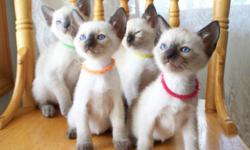 Beautiful Siamese kittens available! We have seal point, blue point, lilac point, & chocolate point kittens. We love, play with, & kiss our kittens daily, so that they are ready to be valuable & loved members of your family. Please see more