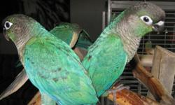 Are you looking for a great FAMILY bird that can be handled by children with adult supervision? A quieter parrot that has the playful, energetic, fun-loving personality that Green Cheeks are famous for? A gorgeous bird that can live 20-30 years? Well