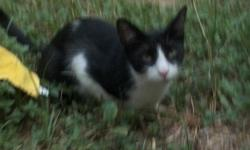 A 2 Year old, Black and White male cat. He is fixed, very sweet and house trained. I must find a good home for him as Im moving. His name is Pinoci. He has a pink nose and pink toes.