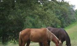 Lacy is a four year TWH Sorrel with Flaxen Mane Tail Generator's Granddaughter Approx 15.2 hands Trail Ridden , Hills, All Natural Smooth Gaits 30 days of Professional Training Also have just turned two TWH black gelding with diamond out of Memories
