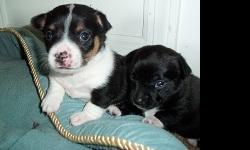 I have two very cute Chihuahua puppies that need a good home. One male and one female. They are eight weeks old. Black, white and brown is the male and the black with the white paws is female.