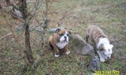 Two AKC Male English Bulldog Puppies...Champion Lines... They are red brindle with white markings... They are 12 weeks old and have had 3 sets of shots and vet checked... Well socialized with kids and cats...The big guy is quite outgoing nothing