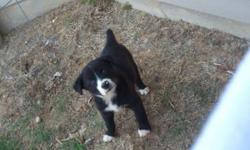 Two Austrailian Shepard, Bordier Collie Mix puppies Born March 18th 2011. Both have receieved initial vaccinations and have been started on heartguard. Very playful fun, smart and loving dogs. Included will be two collars for each puppy and a leash for
