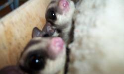 These are my babies so I want someone who is willing to commit to them. Sugar gliders can live up to 15 years, so people must be willing to feed and look after them properly. I will not sell unless known the correct diet and cage requirements. You must be