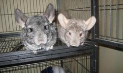 One grey chinchilla only 4 years old and one baige chinchilla also 4 years old. Cage included as well as water bottle and food dish. ***MUST BE KEPT TOGETHER NOT TO BE SPERATED***