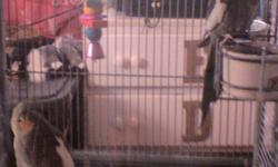 I have two Cockatiel birds I need to get rid of, one male bird and one female bird. Both birds are about seven months old. Birds are free but must go with cage at $150. The cage alone was about $250, and is in great condition and the birds we payed over