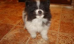 Two Brown/white female pupies, Black/white teacup size male. All pure breed Pomeranian, all had first shot very healthy and playful. Asking $600.00 for each. If interesting please contact Lily at:-- or:-- or:--.