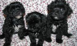 These sweet puppies were born on 4/26/11. Mom is a 6LB AKC Toy Poodle Dad is a 5LB AKC York Shire Terrier. Both parents have champion lines. Pups are up to date on shots and worming.Pups are hypoallergenic. Pups tail and dewclaws are removed to breed