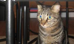 Two cats, possibly twins, adopted shortly after their births in April 2008, need a new home. Both males are neutered and have had their front claws removed, making them indoor cats. They are loving and fun -- and they amuse themselves all day. They come