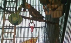 """Two male cockatiels. Untamed, gorgeous. Can sing/talk. Would like them to go together. Please call or text at (985) 868-3456. One is white with yellow and the other is all gray with orange """"cheeks"""", and some yellow. I have a HUGE cage that can go with,"""