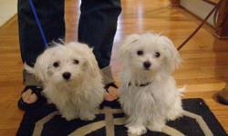 I am selling two toy maltese boys. They are AKS so you will get the papers. I have photos. Just send an e-mail with any information you may want to know.