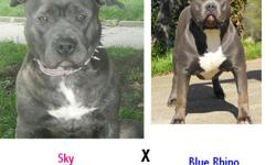 we have two litters that just touched down at cityviewkennel our first litter is a blue xxl breeding pups are UKC & ADBA registered bloodlines are watchdog/ganghis kon/greyline/razor's edge. our second litter is a sandard size breeding pups are ADBA