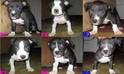 """6 weeks in this picture"""" Puppies born November 28, 2010 I have 2 males and 4 females for sale. You can check out my website WWW.CNYPITBULLS.NET for more details. Pictures of parents and pedigree are also available on website. All puppies come with UKC"""