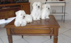 UKC MALTESE PUPPIES, 2 MALES THEY WERE BORN ON 5/07/2010. REDY FOR THEIR FOREVER HOME NOW. THEY ARE PLAYFUL AND HELTHY PUPPIES. PLEASE CALL (561) 688 3530