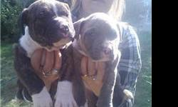i have 2 litters of blue pit bull pups.The first litter of pups r ukc purple ribbon champ pups.Great bloodline 100% razors edge.THE FATHER IS 95LBS AND THE MOTHER IS 85 LBS OF BEAST.But very nice dogs i own both parents.ukc papers and shots.the blue ukc