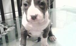 Puppies are razors edge bloodline grandfather is zenstyles pokemon1 includes in the first 4 generetions lowjack remy martin mikelands cracker jack and mikelands kingpin for further information you can call at ()-