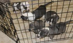 UKC reg APBT puppies for sale, Blues/Blue&Wht/Blue Brindle/Fawn.  Born 9/20/12, vet checked, 1st shots, dewormed.  Parents on site, family raised, excellent temperament.  Will go fast p#U12-003202