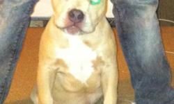 this girl has a look that catches your eye, she is blue fawn with blue eye liner.. she has a great pedigree.. she is UKC reg ( can be ABKC reg) .. she is sired by Sysco (cashpot son) x her dam is Cai Ann ( Cai daughter) .. she will be pocket sized when