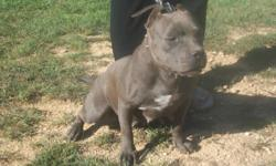 Ultimate Blues Ariel for sale she comes from Ultimate Blues in Macon GA. Her father is Stump and her mother is Kid Bella from Ultimate Blues. Will consider possible trade...