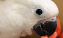 Baby Umbrella Cockatoo, handfed from day one, extremely cuddly baby! Very socialized, love's everyone this baby meets. A very cuddly baby, amazingly gentle bird. Free shipping within most of the United States. Kennel, vet checked, health certificate and