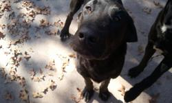 FOUND ON NOV 24, 2012 NO OWNER MUST FIND HOME OR FOSTER NOW 2 Black Labs, vicinity of East Renfro and Christopher Street in Burleson, Texas. The female has been place in a wonderful forever home!!!! I still