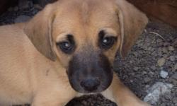 We have one very cute Beagle/Boxer mix female puppy for sale that needs a good home.
