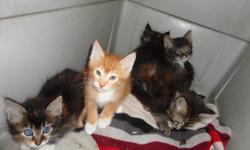 These kittens simply need a nice home and a loving family. They have been using a litter box, and are very adorable. We have to many animals and need these little guys taken off of our hands.   Please call if you are