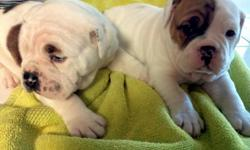 1male and 1female. Victorian bulldog puppies. I own both parents. Registered with UABR Tails docked and dew claws removed. 8 weeks old. Vet checked -- Conway