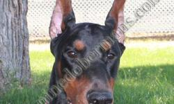 """AKC BLACK DOBERMAN PINSCHER STUD SERVICE, VWD CLEAR 2011 Breeding Fee for Catch is $600. He has no """"Z"""" factor. That is, he does not carry the white gene. We require a negative brucella canis screening from your vet for live cover. We also do artificial"""