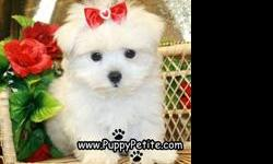 Our super-cute toy and teacup Maltese puppies are 8-12weeksold and the prices for the puppies start at $500. All of our puppies are registered andall vaccinesare up to date. Ifyou wouldlike to see