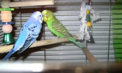 I have two pairs of parakeets,one pair of lutino cocatiels and one oplane peach face lovebird.they all come w/cages and toys.I want to trade them all for medium size any kind bird.Would be nice if it come w/cage.Or I can sell them all.One pair of