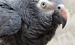 We are looking for a African Gray parrot at a very reasonable price. The parrot must like lots of attention and love. Prefer one that is talking and tame, but would consider other. email or call 561-274-1075