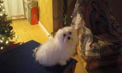 Searching for a registered male Maltese to breed with a female registered Maltese. My dog born on May, 10 2009, she never being breed. Please call: (575)805-4997