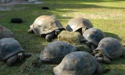 We now have available for sale 6 pairs of sulcata tortoises and 8 pairs Aldabara tortoises with of good health. Very healthy and home raised. Females are 100% proven breeder and lays between 3-5 times a year. They are home raised and both a bred. contact