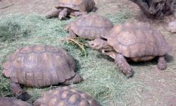 We now have good pairs Sulcata, Aldabara, and Radiated tortoises available for sale . very healthy and home raised. Females are 100% proven breeder and lays between 3-5 times a year. They are home raised and both a bred. contact us for more details.