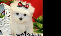 You won?t believe how adorable our toy and teacup Maltese puppies are. They are 8-12weeksold and are ready to come home with you. The price for the puppies starts at $500. All of our puppies are registered andall