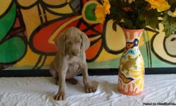 AKC Weimaraner, 7wks Old, 6 Boys, 2 Girls, Dewormed, Tails Docked, Dew Claws Removed, 1st Puppy Shots, Healthy, Silver
