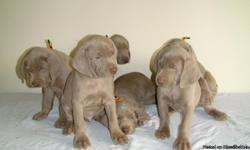 AKC Weimaraner, Dew Claws Removed, Tails Docked, 1st Puppy Shots, 7 Weeks Old, Silver, Healthy