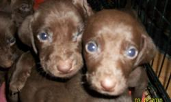 Male and female puppies, chocolate color, ready to go,call (423)329-0241