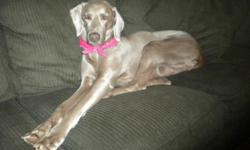 """10-YEAR-OLD FEMALE WEIMRANER MISSING FROM UPTON, MA (ROUTE 140) SINCE 2/22/11. ANSWERS TO """"EMMA""""; WAS WEARING A YELLOW BANDANA. PLEASE CALL WITH ANY INFORMATION OR SIGHTINGS 508-294-4687. REWARD OFFERED!!! FAMILY DESPARATE TO FIND HER!!"""