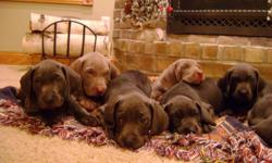 AKC registered Weimers - 2 silver and 5 blue. Born April 25th, 2011. Family raised. 1st shots and de-wormed.
