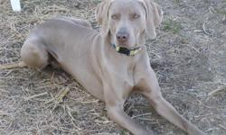 Weimaraner puppies. AKC/APRI registered. Tails docked, dew claws removed, first shots, and dewormed. These puppies are wonderful pups, and family companions. If you like hunting, they can do that also. They have very gentle temperments. I have silver and